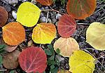 pvcLEAVES1/10-6-05/JP2/ASEC.    Detail of fallen leaves near Fenton Lake along state road 126, photographed Thursday Oct. 6, 2005.  (Pat Vasquez-Cunningham/Journal)