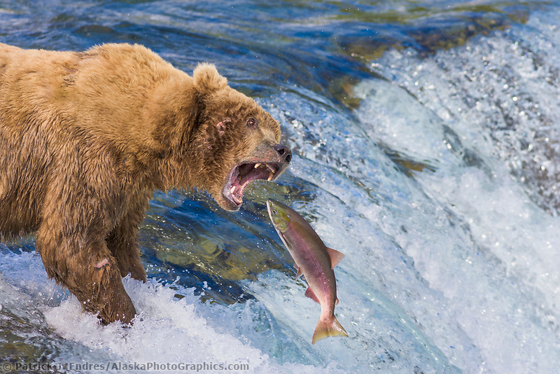 Brown bear attempts to grab a red salmon as it jumps the Brooks river falls, Katmai National Park, Alaska