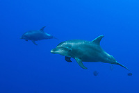 Pacific Bottlenose Dolphins, Tursiops gillii, San Benidicto Island, Revillagigedo Archipelago, Pacific Ocean, Mexico