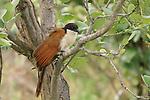 Coppery-tailed coucal (Centropus cupreicaudus), Kwara Reserve, Okavango Delta, Botswana