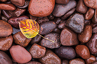 An aspen leaf on wet beach stones, Upper Michigan.