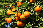 Orange tree at Desert Braemar