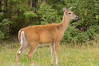 A white tailed deer is seen at the Zoo Sauvage in St. Felicien, Quebec Friday August 25, 2017.
