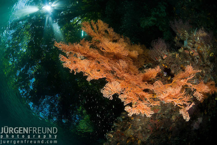 The topside foliage peering through the water with massive gorgonian fan coral in the shallows. North Raja Ampat, West Papua, Indonesia