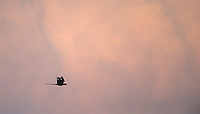 A scarlet macaw flies in front of storm clouds.