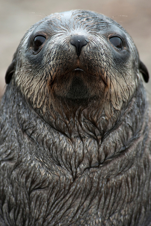 Antarctic fur seal (Arctocephalus gazella), facial view, Prion Island, South Georgia