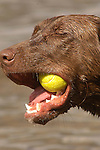 Lab with ball in mouth