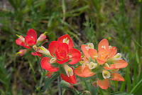 Two shades of Indian Paintbrush, Llano, Texas