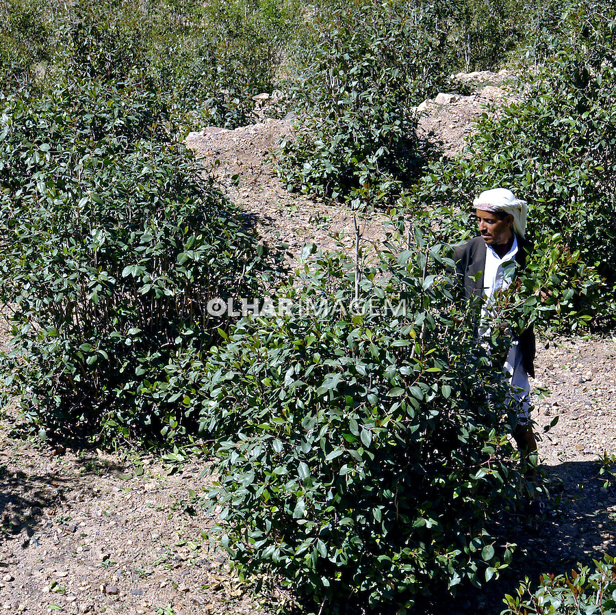 Plantaçao de Khat ou Qat ( Catha edulis) no vilarejo de Al Hajjarah. Yemen. 2008. Foto de Caio Vilela.