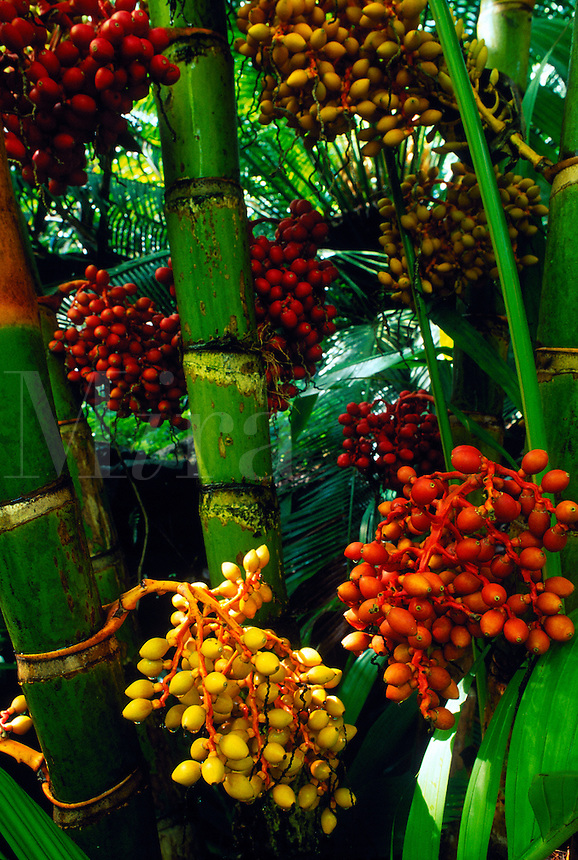 A Bungalow Palm (Archontophoenix Alexandrae)with red, yellow and orange fruit.