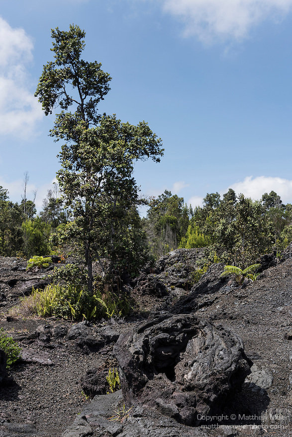 Hawai'i Volcanoes National Park, Big Island of Hawaii, Hawaii; trees and ferns growing out of the volcnanic rock around the rim of the Pauahi crater