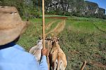 A Cuban farmer drives his  oxen on a farm road...near Vinales, Cuba