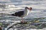 Western gull with crab in Santa Barbara