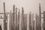 Row of wood pilings in calm water with herons