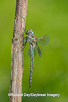 06370-001.16 Swamp Darner (Epiaeschna heros) male perched on branch, Clay Co.  I