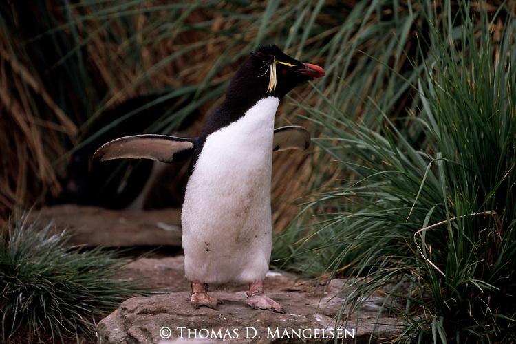 A rockhopper penguin on New Island in the Falkland Islands.