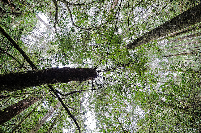 Fisheye view looking up at the Tall Trees at Mt Field National Park in Tasmania, Australia