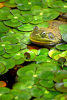 Bullfrog in pond surrounded by Water Clover (Marsilea quadrifolia). Oregon Gardens. Oregon