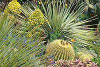 Dasylirion wheeleri (spike foliage)in drought tolerant succulent border with barrel cactus.  Credit Susan Springer