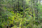 Moss covered forest along Greenleaf Trail in the White Mountains, New Hampshire