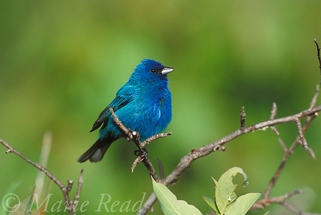 Indigo Bunting (Passerina cyanea) male in breeding plumage, New York, USA<br />