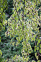 Handkerchief tree (Davida involucrata), mid October.