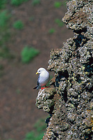 Red-legged Kittiwake, St. Paul Island, Pribilof Islands, Alaska