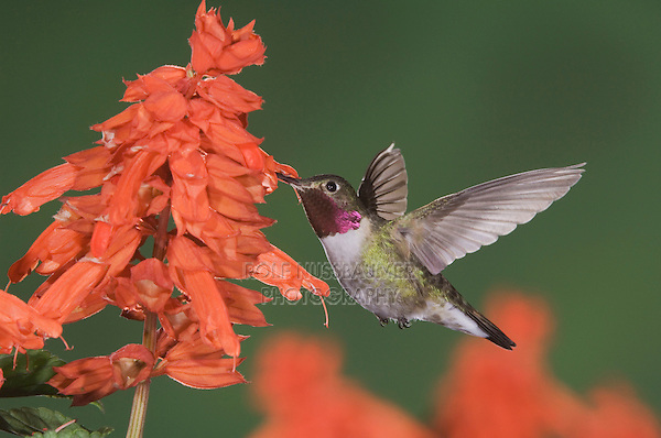Broad-tailed Hummingbird, Selasphorus platycercus,male in flight feeding on Red Salvia (Salvia splendens),Rocky Mountain National Park, Colorado, USA, June 2007
