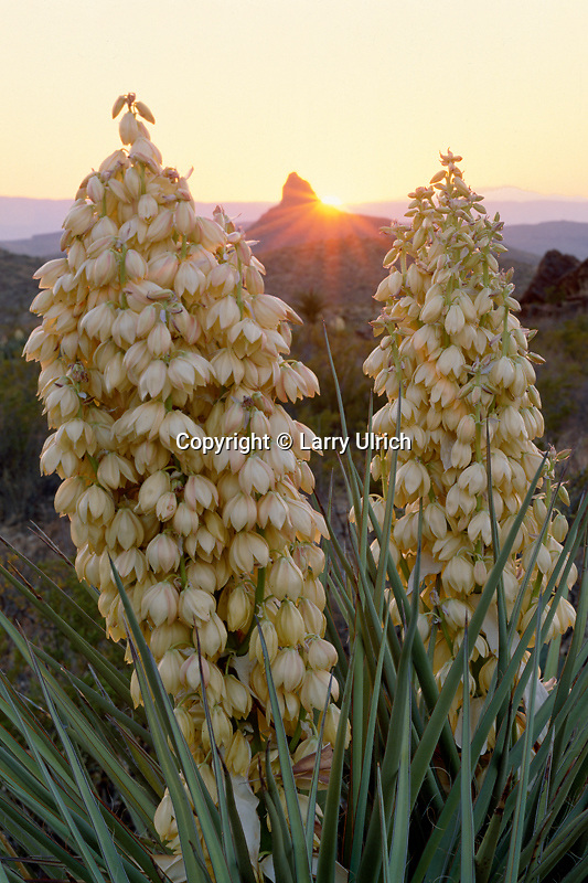 Spanish-dagger at sunset<br /> Chisos Mountains<br /> Big Bend National Park<br /> Chihuahuan Desert,  Texas