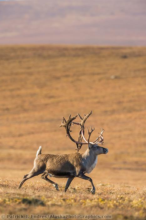 Bull caribou, rangifer tarandus, prances across the tundra north of the Brooks range, Arctic, Alaska.