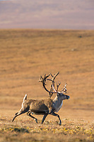 Bull caribou, rangifer tarandus, prances across the tundra north of the Brooks range, Arctic, Alaska.