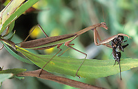 Praying Mantis; Tenodera aridifolia; eating cricket; PA, Philadelphia;