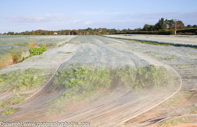 Crop of turnips growing under protective fleece in filed, Alderton, Suffolk, England