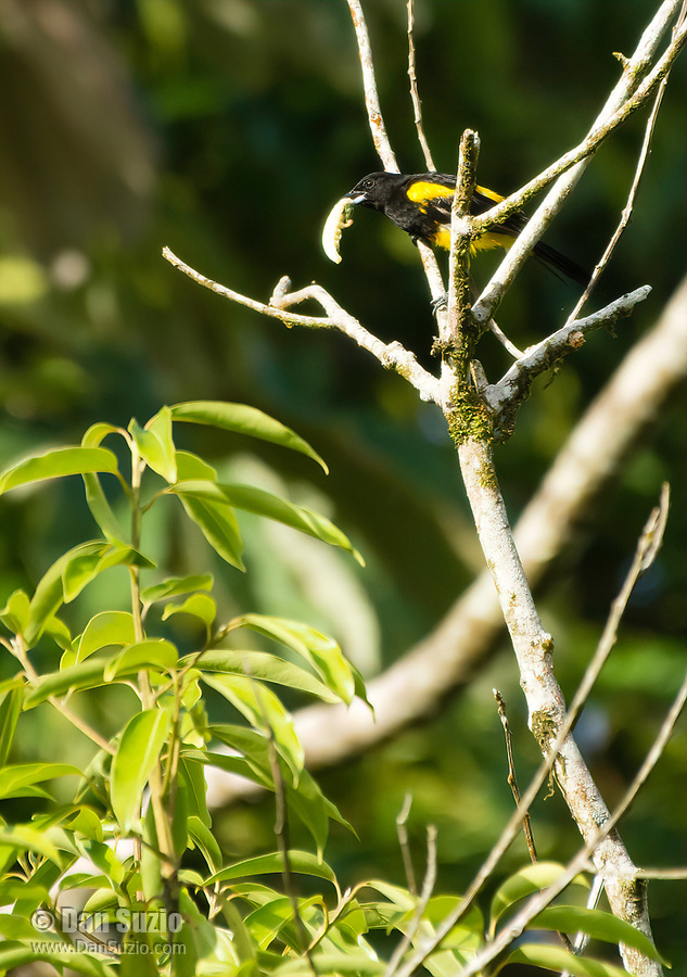 Black-cowled Oriole, Icterus prosthemelas, eating a large insect larva in Tortuguero National Park, Costa Rica