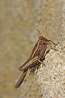 Säbel-Dornschrecke, Säbeldornschrecke, Dornschrecke, Tetrix subulata, Tetrix subulatum, Acrydium subulatum, Slender Ground-hopper, Slender Groundhopper, Slender Grouse Locust, Dornschrecken, Tetrigidae, grouse locusts, pygmy locusts, groundhoppers, pygmy grasshoppers