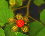 Berry bush seen in the Esopus Bend Nature Preserve in Saugerties, NY, on Saturday, July 22, 2017. Photo by Jim Peppler. Copyright/Jim Peppler-2017.
