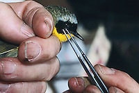 Scientist removing ticks from a Common Yellowthroat Warbler, New Jersey