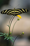 Woodland park zoo butterfly exhibit Zebra Long Winged landing on flower Seattle Washington State USA..
