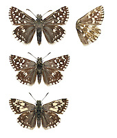 Grizzled Skipper - Pyrgus malvae - female (top) - male (middle) - male, form taras (bottom). Wingspan 20mm. A well-marked skipper. Adult has dark grey-brown upperwings with striking white spots; underwings are reddish-brown with numerous pale spots. Flies May–June. Larva feeds on Wild Strawberry and various cinquefoils. Locally common in southern England and south Wales. Associated with undisturbed grassland and woodland clearings where larval foodplants thrive.