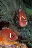 Dedicated parents: A pair of Pink Anemonefish, Amphiprion perideraion, stay busy tending to their cluster of eggs, guarding them from predators and keeping them well oxygenated. Eggs are the orange-ish mass below the lower fish's belly. Ko Tao, Thailand, Gulf Of Thailand, Pacific Ocean