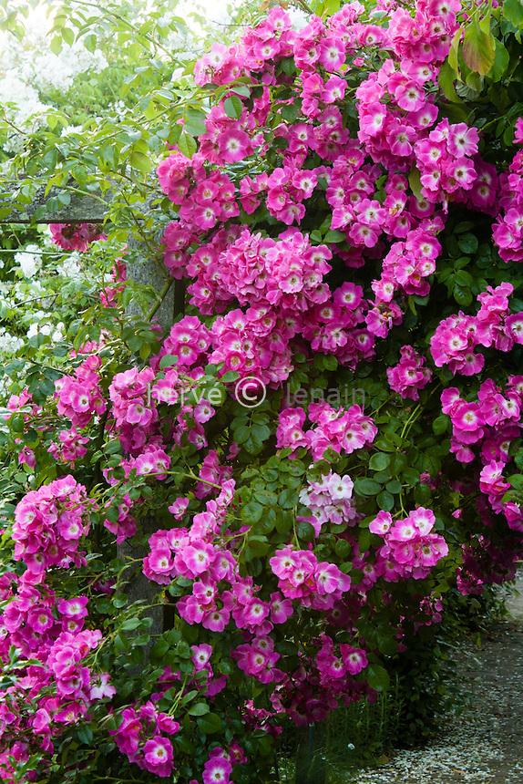 Jardins du pays d'Auge, rosier 'American Pillar', Rosa 'American Pillar'