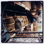 JULY 2000  --  JAKARTA, INDONESIA.  An owl for sale at Pasar Barito.