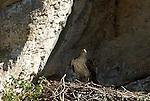 Adult Bonelli´s Eagle standing in nest. (Aquila fasciatus ) Andalucia, Spain.