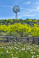 Texas Windmill with Prickly Poppies - Another capture from the texas hill coutnry of this windmill with the cedar fence and poppies growing through out. On our wildflower journey through the hill country we came across this cedar fence with poppies growing and this windmill with the texas hill as a back drop on this nice spring day. In the texas hill country these cedar fences are quite popular because cedar is plentiful and most consider it be an invasive bush, so what better use than make a fence out of it. One of the feature of cedar is the way the bark stark shredding and peeling off. Most don't bother to shave the fence like these. With the poppies it create this rural texas country scene with the texas windmill and poppies through out the area, with the light green trees in the back ground which are the texas mesquite tree. We were out looking for the texas wildflowers when we came across this iconic Texas scenery all the way down to the prickly poppies growing throughout the area. The poppies are found in the southwestern united state and a hardly plant that can overtake an area without much difficulty given time.