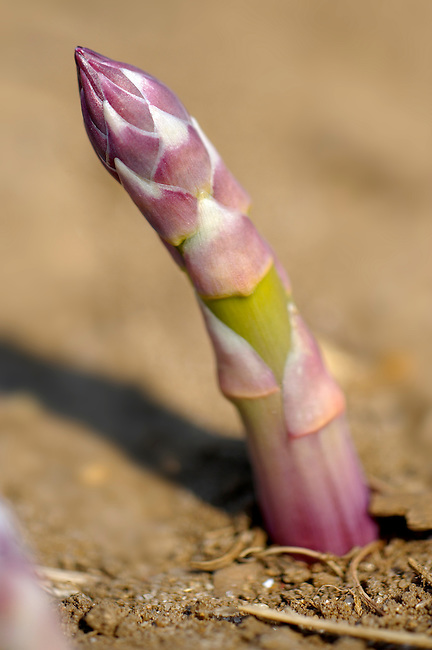 Stock photos of fresh English asparagus growing in the fields. Funky stock photos images.