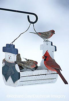 00585-01411 American Goldfinch, Northern Cardinal, & House Finches at snowman feeder in winter, Marion Co.  IL