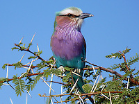 The Lilac-breasted Roller (Coracias caudatus) is a member of the roller family of birds. It is widely distributed in sub-Saharan Africa and the southern Arabian Peninsula, preferring open woodland and savanna; it is largely absent from treeless places. Usually found alone or in pairs, it perches conspicuously at the tops of trees, poles or other high vantage points from where it can spot insects, lizards, scorpions, snails, small birds and rodents moving about at ground level.