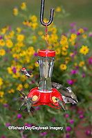 01162-12617 Ruby-throated Hummingbirds (Archilochus colubris) at feeder near flower garden,  Marion Co.  IL