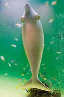 dugong, Dugong dugong (c), female, Indo-Pacific Ocean