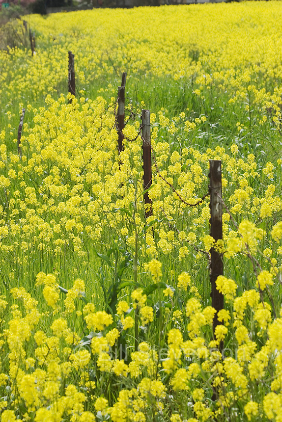An image of a fence in a field of yellow mustard near Modesto California.
